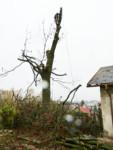 Rizikové kácení vzrostlých javorů